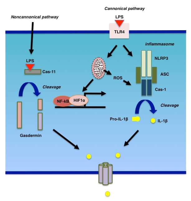 Figure 2 Autophagy And Liver Injury In Sepsis