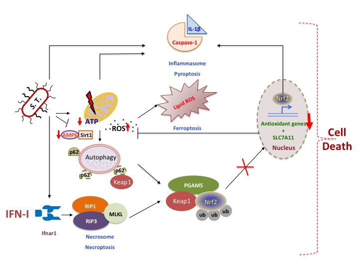 Salmonella Typhimurium infection: Type I Interferons integrate