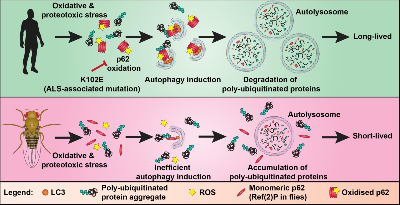 oxidation of p62 as an evolutionary adaptation to promote autophagy