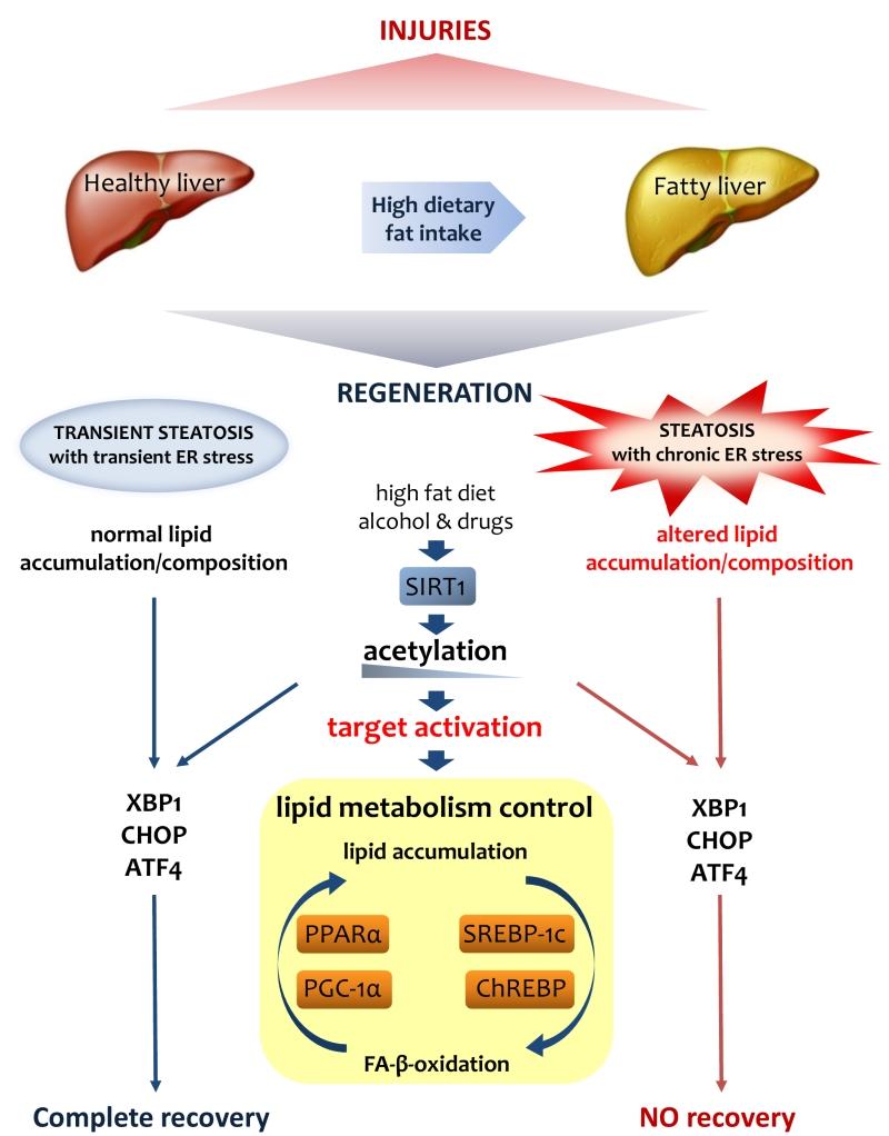 Foie Gras And Liver Regeneration A Fat Dilemma