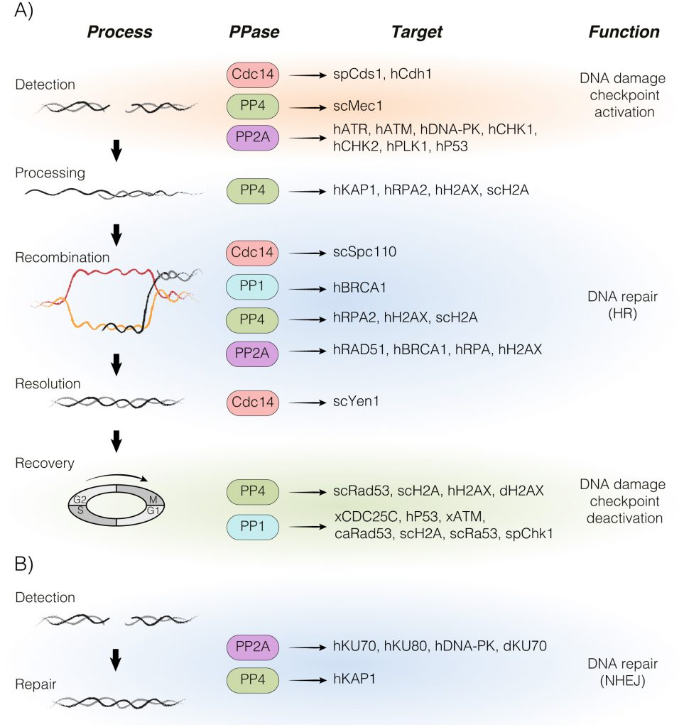 Role of protein phosphatases PP1, PP2A, PP4 and Cdc14 in the DNA