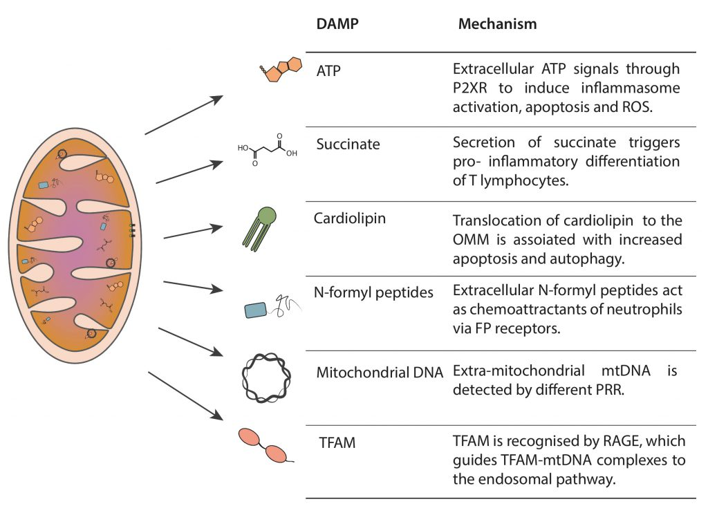 The Sensing Of Mitochondrial Damps By Non Immune Cells