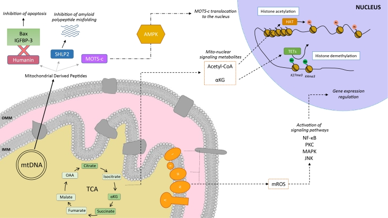 Mitochondrial Function Pdf